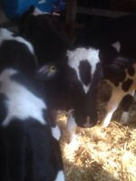 300 pound bulls for sale (Holsteins)