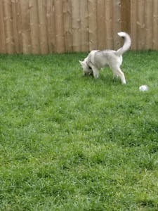 Husky | Adopt Dogs & Puppies Locally in British Columbia