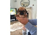 Pugalier puppies boys and girls ready now