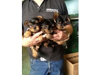Yorkie/Yorkshire terrier pups
