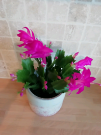 Flowering plant in pot