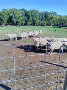 6 mature ewes and a ram. $171 each. Reduced price on package