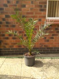 Palm tree in plant pot planter