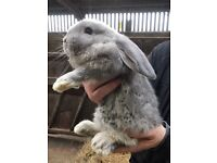 Beautiful French lop baby