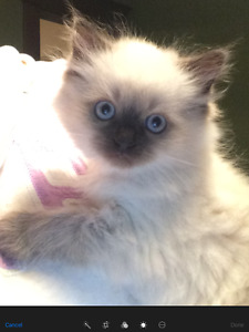 Purebred Ragdoll Babies Ready. One Male left