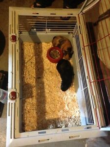 Mom and daughter Guinea pigs need forever homes