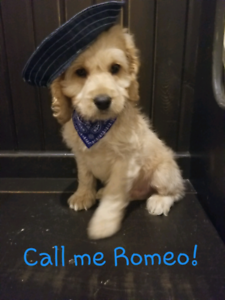 Cockapoo | Adopt Dogs & Puppies Locally in Ontario | Kijiji