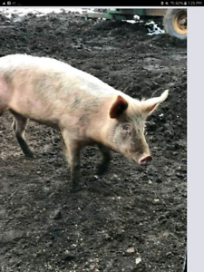 Feeder grower pigs 8 months old ready for there homes