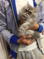 Adorable purebred Persian kitten for sale>>>>one boy left