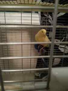 MOVING SALE - Yellow Canary with cage sale.
