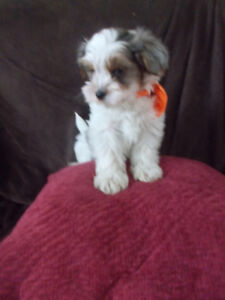 2 male  and one female left morkie