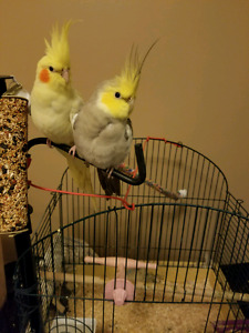 Cockatiels pair with nest, cage and 3 eggs