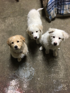 Great Pyrenees/Mix