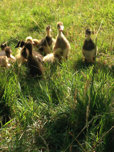 Pure Bred Indian Runner Ducklings & Hatching Eggs
