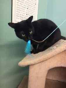 "Short haired black cat ""Luna"" London Ontario image 4"
