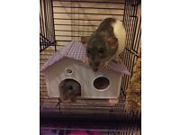 Two female rats for sale