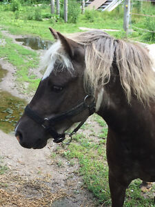 5yr old pinto mini/pony mare