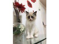 Rangdoll kitten