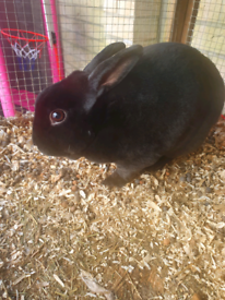 2 gorgeous male rex rabbits, one black, one black and white