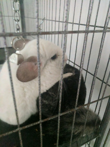 2 chinchillas brothers paco & rio
