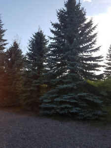 Blue Spruce trees for sale.