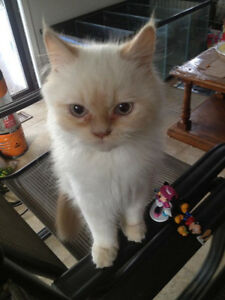 Dollface Himalayan Kittens, Vet Checked, Ready to go home