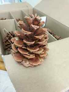 15 Ponderosa Pine Cones for wreaths/crafts, from Kamloops Edmonton Edmonton Area image 2