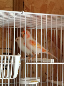 11 Canaries For Sale