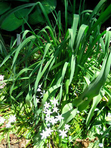 Home Grown GARLIC PLANTS - An Edible Perennial