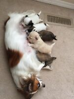 Puppies! Chihuahua/Papillon cross