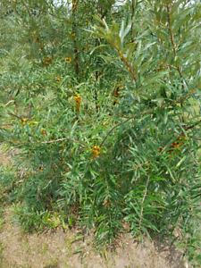 Sea Buckthorn Harvest Organic and Chemical Free