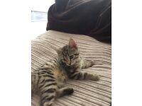 Tabby kitten free to good home