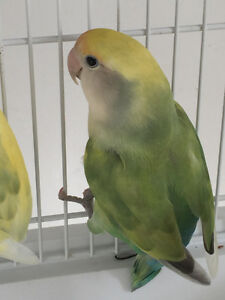 Offering a female lovebird, to trade for other female
