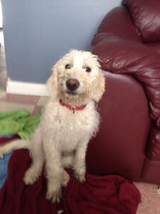 Male Labradoodle looking for loving home