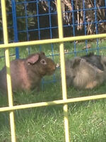 2 male guineapigs one long hair one skinny pig both a year old.