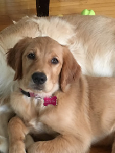 Golden Retriever beautiful female, looking for caregiver family