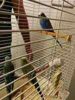 3 budgies for sale with big cage.