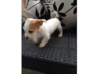 Bishon frise x miniature jack Russell puppie
