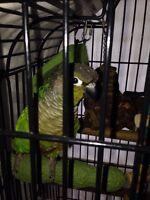 Pet bird green cheek cornered