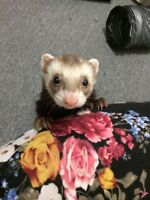 Two wonderful Ferrets and cage to a good home