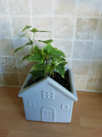 Ivy plant in pot