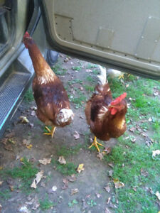 4 hand raised free range tame roosters free
