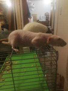 Fancy rats and cage