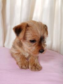 Norfolk Terrier cross with Yorkshire terrier