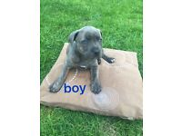 KC Staffordshire Bull Terrier puppies for sale !