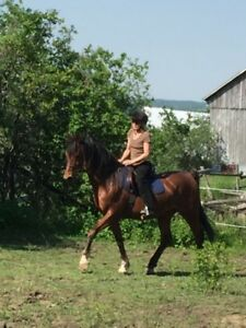 Gentle 1/2 Arab Gelding  Well Broke and Kind
