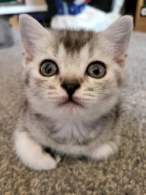 4 British Shorthair Kittens