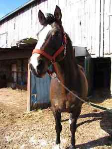 HANOVERION X THOROUGHBRED MARE Peterborough Peterborough Area image 2