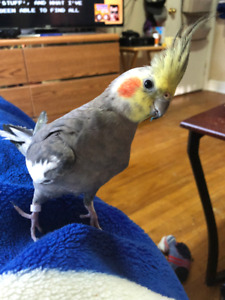 Lost Grey Cockatiel