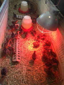 Heritage Bronze turkey Poults 10 day olds - June 18 updated